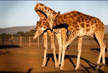 Feed a giraffe in Mendocino